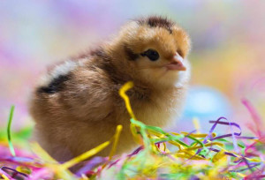 alternate or 2nd raising chicks blog main photo