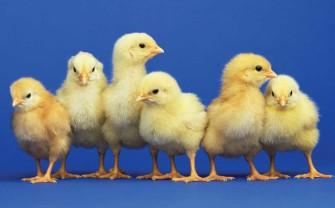 Raising Chicks in your Backyard