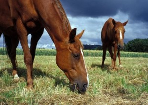 horses-eating