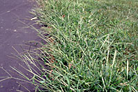 crabgrass Control In Your Lawn