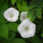 Fragrant Flowers WHITE MORNING GLORY