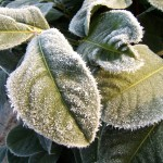 How To Protect Your Spring Plants frosty plant