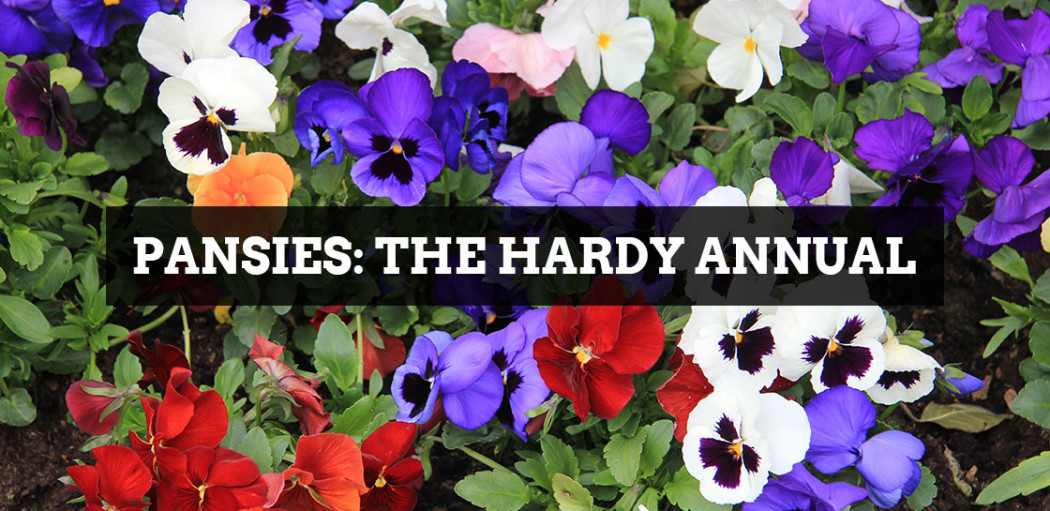 Pandies-the-hardy-annual