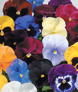 Pansies The Hardy Annual 1