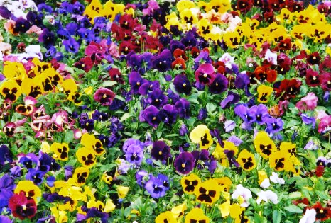 Pansies The Hardy Annual 2