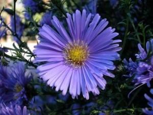 aster-flower_0