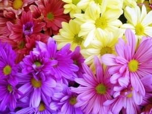 florist-mums