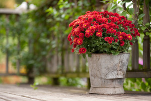 mums-in-container