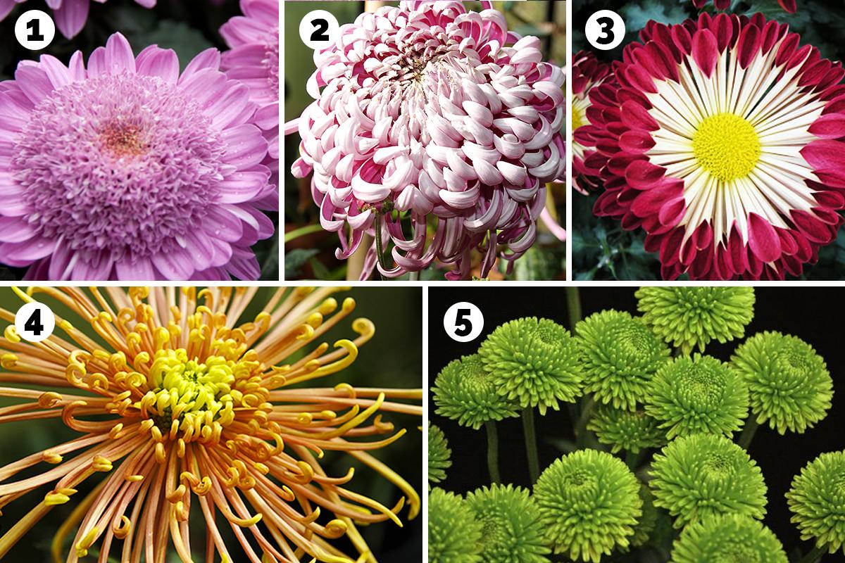 types of mums petals
