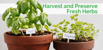 Harvest and Preserve Fresh Garden Herbs