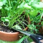 Harvest & Preserve Herbs harvesting