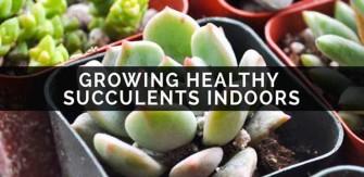 Growing Healthy Succulents Indoors