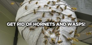 hornet-and-wasp-cover-image