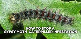 Stop or Prevent a Gypsy Moth Caterpillar Infestation RIGHT NOW!
