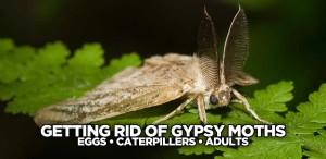 gypsy-moth-blog-getting-rid-of-gypsy-moths
