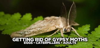 Getting Rid of Gypsy Moths:  Preventing Next Year's Generation Of Caterpillars