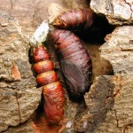 The Gypsy Moth Pupae Stage