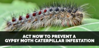 Act Now To Prevent a Gypsy Moth Caterpillar Infestation