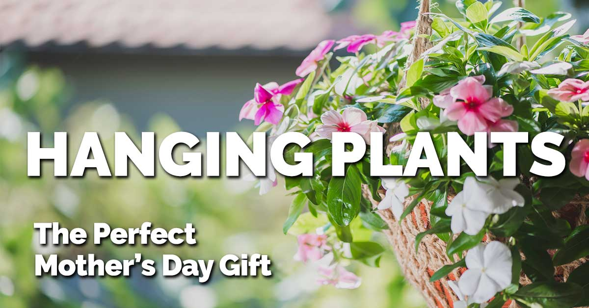 hanging plants the perfect mothers day gift koopman lumber